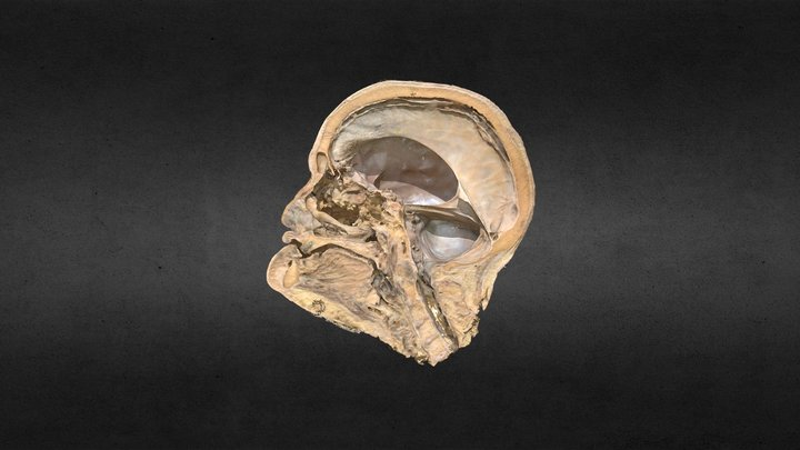 Meninges del encéfalo/Encephalon meninges 3D Model