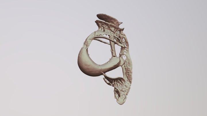 Histioneis sp. (Dinoflagellate) 3D Model