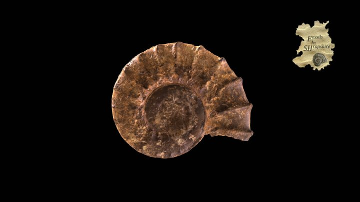 Ammonite - Peltoceras 3D Model