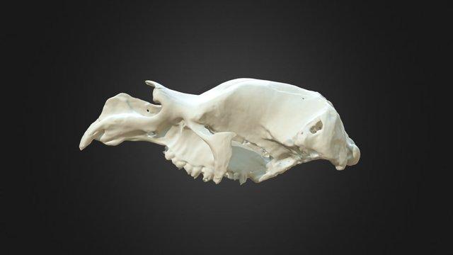Diprotodon optatum cranium 3D Model