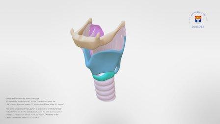 Anatomy of the Larynx 3D Model