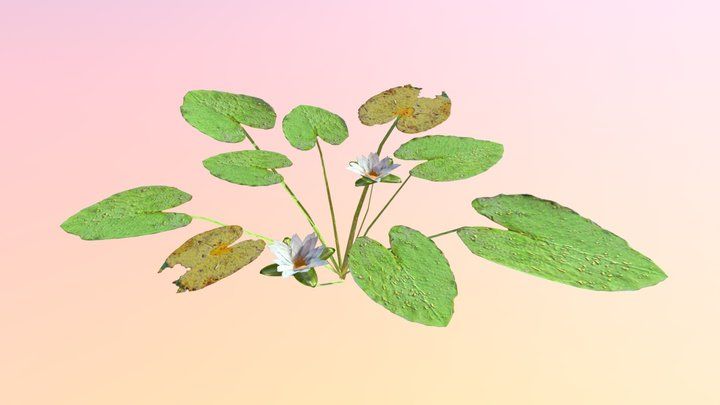 Water Lily (Nymphaea odorata) 3D Model