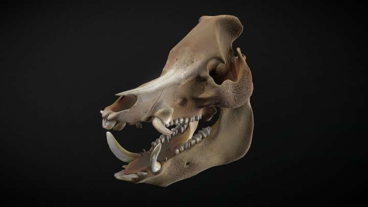 Wild Boar Skull 3D Model