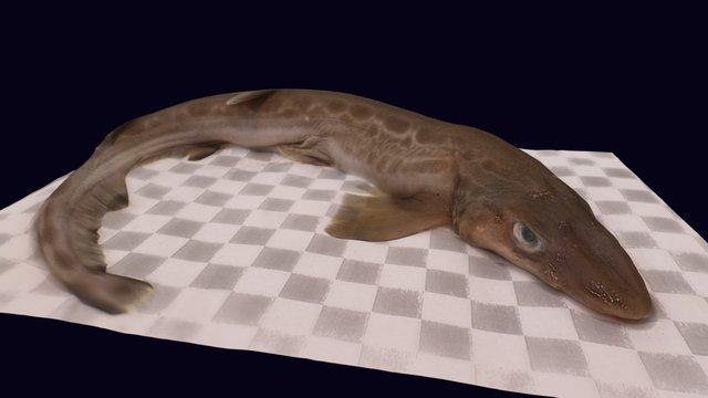 Blackmouth Catshark 3D Model