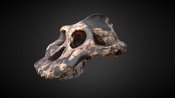 Paranthropus aethiopicus -- Skull fossil 3D Model