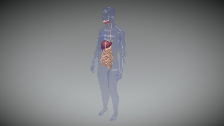 HUMAN DIGESTIVE SYSTEM 3D Model