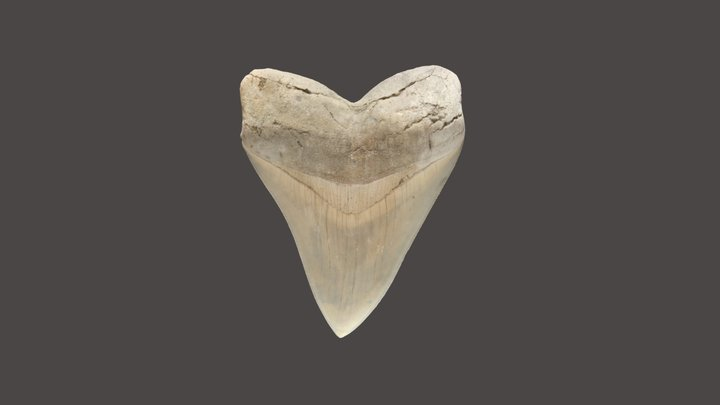 Megalodon Tooth 3D Model