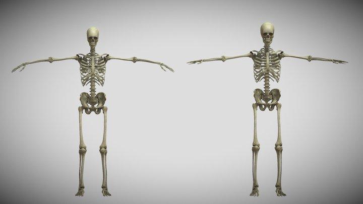 Human-Skeletal System 3D Model