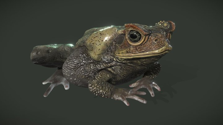 Cane Toad 3D Model