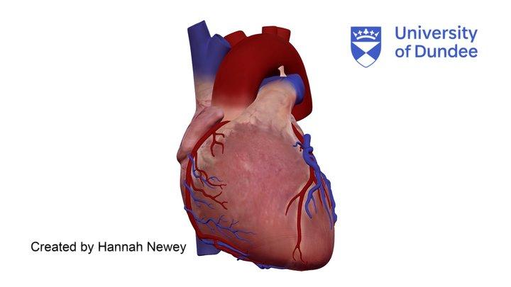 Cardiac Anatomy: External view of human heart 3D Model