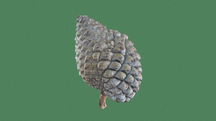 Scots Pine Cone 3D Model