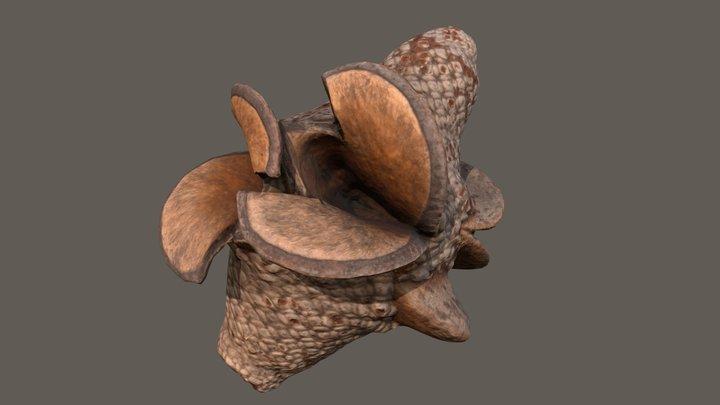 Banksia Leptophylia Marcescens 3D Model