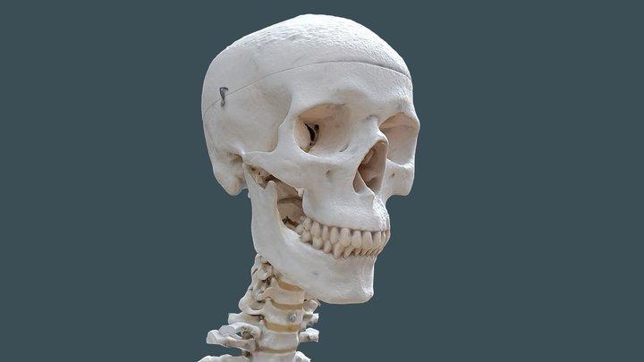 Human skull and neck 3D Model