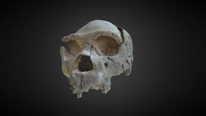 Homo heidelbergensis - Skull fossil - OPTIMIZADO 3D Model