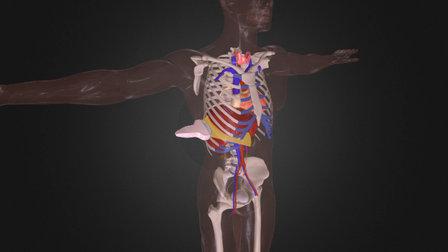 Interkostalschnitt - Leber 3D Model