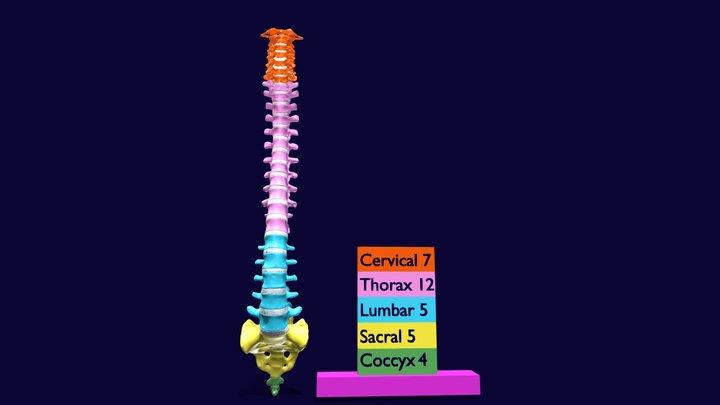 Vertebrae vertebral column color labelled 3D Model