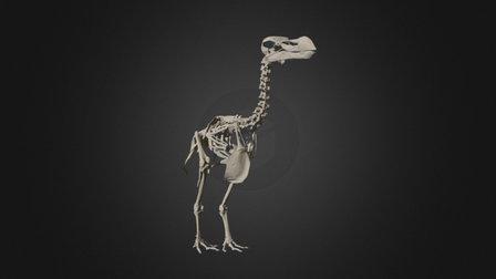 Durban Dodo Skeleton - Museum Scan 3D Model