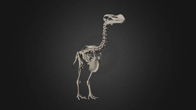 Durban Dodo Skeleton - Museum Scan 3D Model