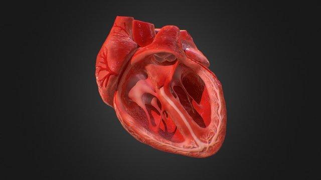 3d Animated Realistic Human Heart V1.0 3D Model