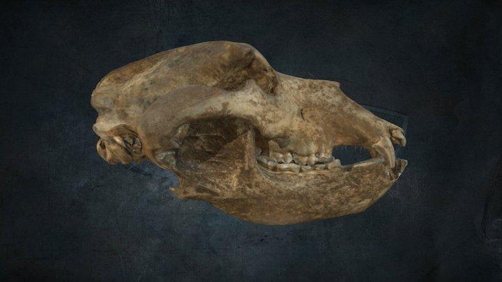 Skull of Cave Bear /  lebka jaskynného medveďa 3D Model
