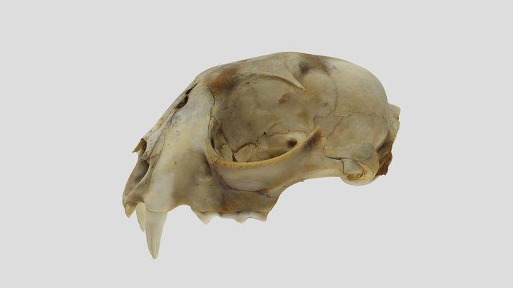 UWYMV:2290, Lynx canadensis, crania 3D Model