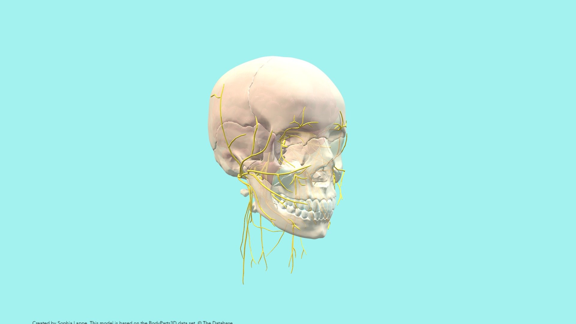 Cranial Nerves and Foramina - Download Free 3D model by University of Dundee, CAHID (@anatomy_dundee) [a9358ee]