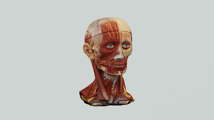 fACIAL nERVE 3 3D Model