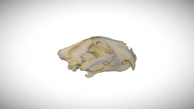 Siberian tiger / CAS:MAM:23164 3D Model