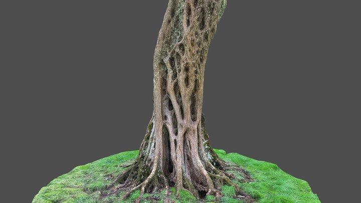 Olive tree 3 3D Model