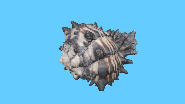 Mollusk Shell 3D Model