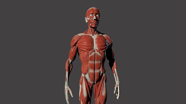 Male Full Body Ecorche 3D Model