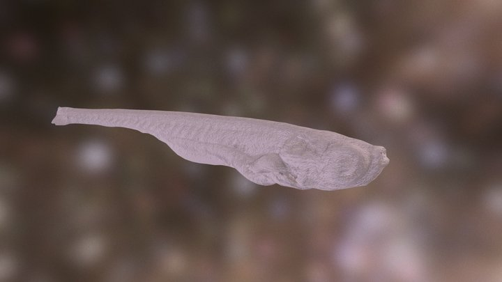 Zebrafish (10 days post fertilisation) 3D Model