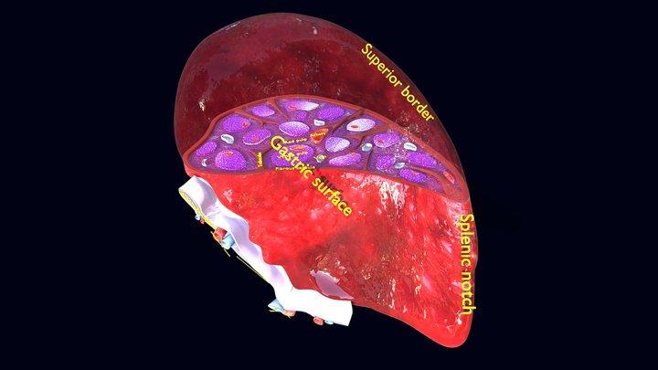 Spleen anatomy histology labelled detail 3D Model