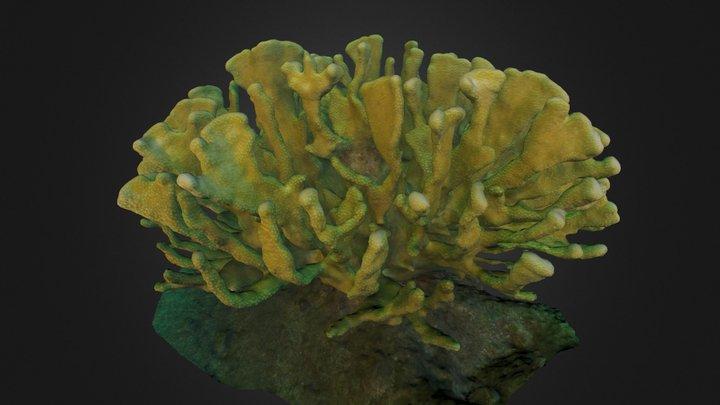 Pocillopora eydouxi 3D Model