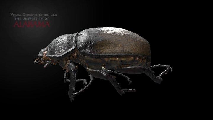 UA MNH Rhino Beetle 2 3D Model