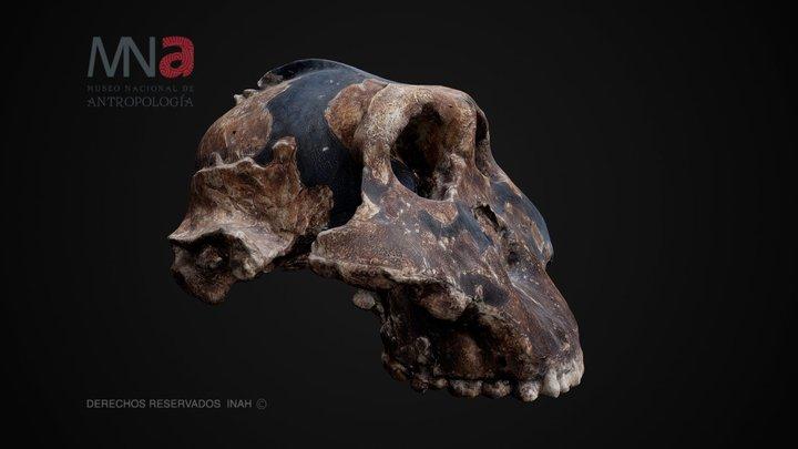 Cráneo de Australopithecus robustus 3D Model