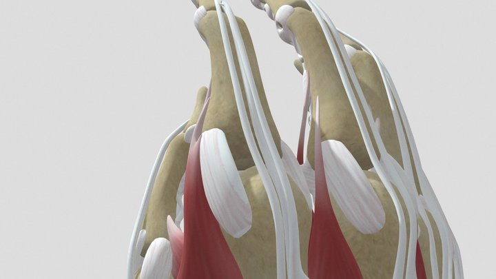 Muscles-and-tendons-of-the-hand 3D Model