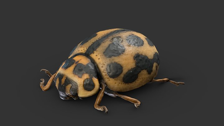 Tytthaspis sedecimpunctata 3D Model