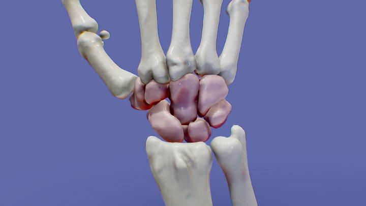 Wrist Anatomy MDCT/Anatomía de la muñeca 3D Model
