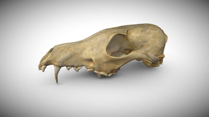 Red Fox's Vulpes vulpes Skull 3D Model