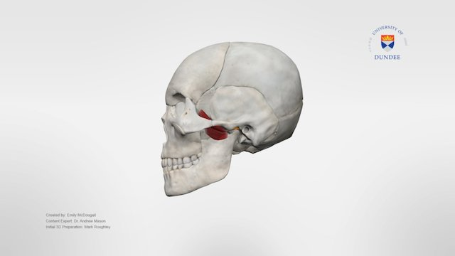 Lateral Pterygoids 3D Model