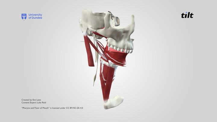 Pharynx and Floor of Mouth 3D Model