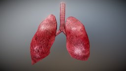 Lungs with Animation (Free) 3D Model