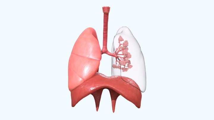 Human Respiratory System Lungs 3D Model