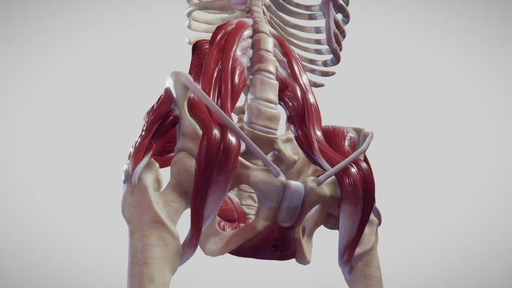 The Pelvic Floor And Post Abdominal Wall Muscles 3D Model