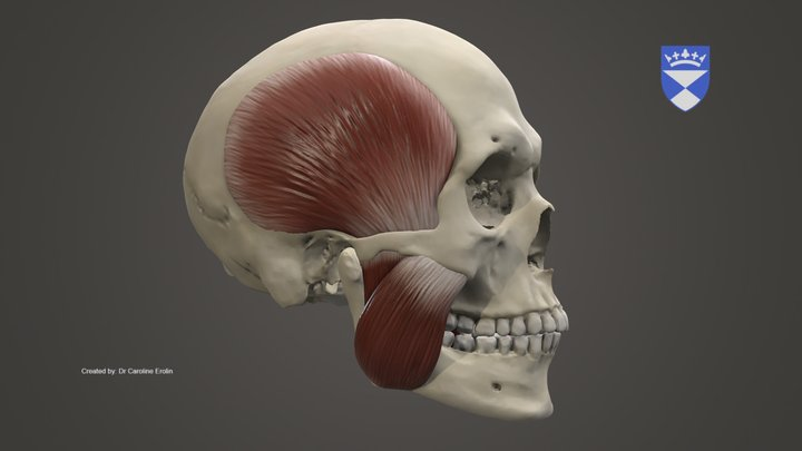 Muscles of Mastication 3D Model