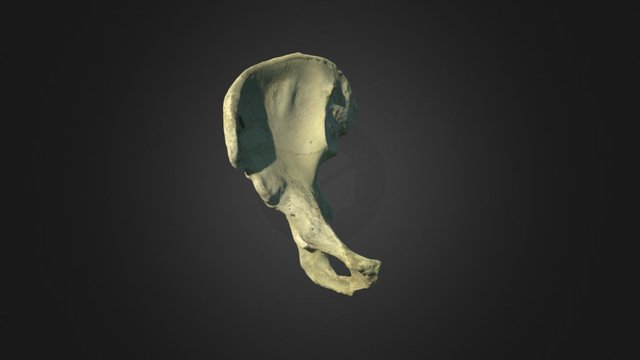 Right Os Coxa 3D Model