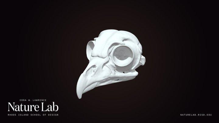 Barred Owl Skull 3D Model