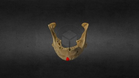 Jaw Bone (Teethless) 3D Model