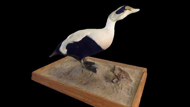 King Eider 3D Model